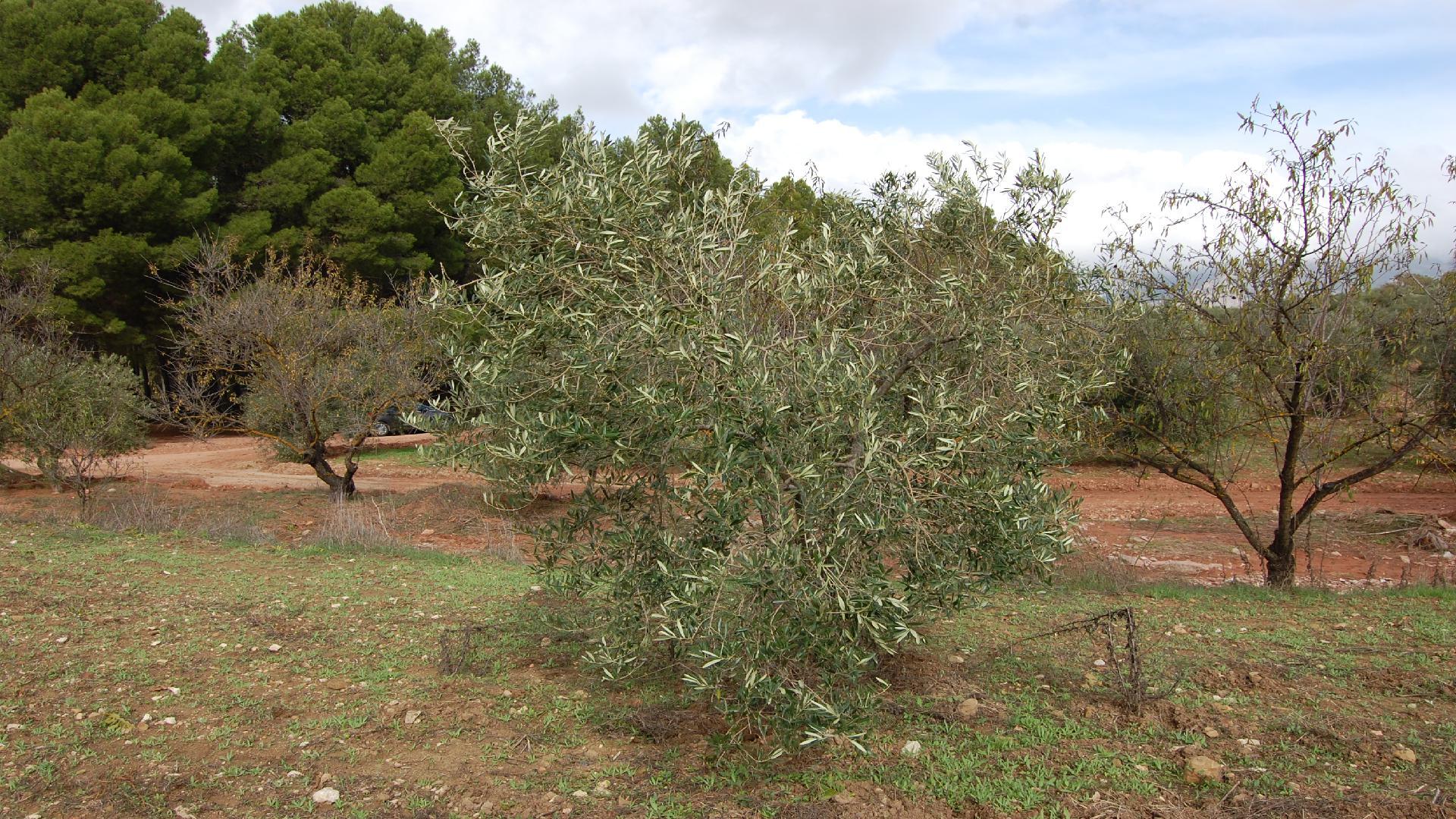 Adopteer een olijfboom GL005