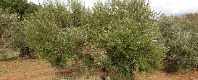 Adopteer een Olivarera Olijfboom GL008