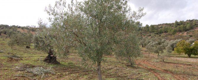 Adopteer een olijfboom via Olivarera GL029