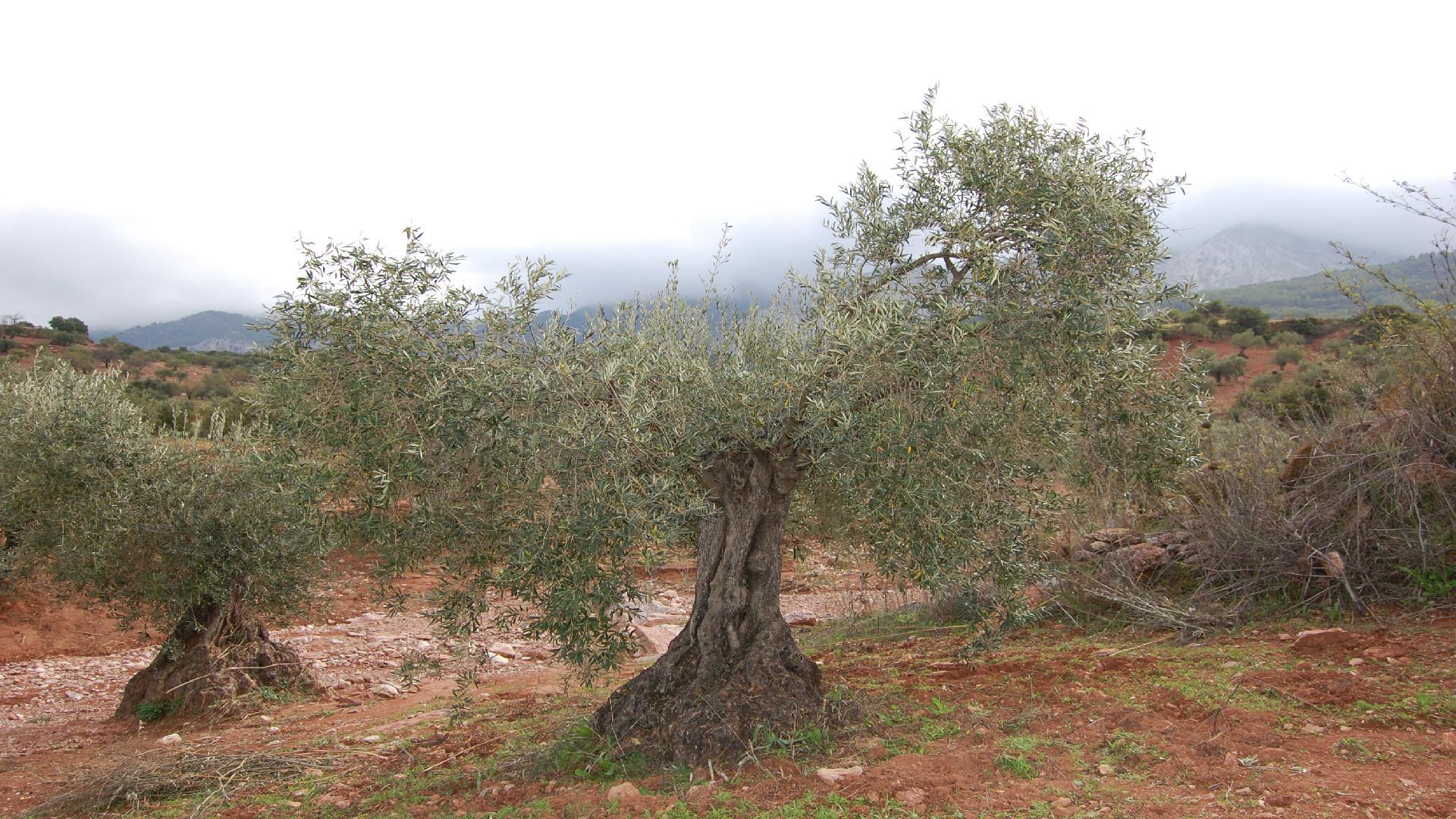 Adopteer een olijfboom GL012