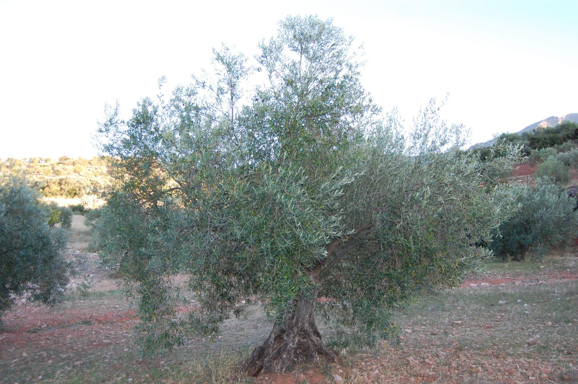 Adopteer olijfboom GL061