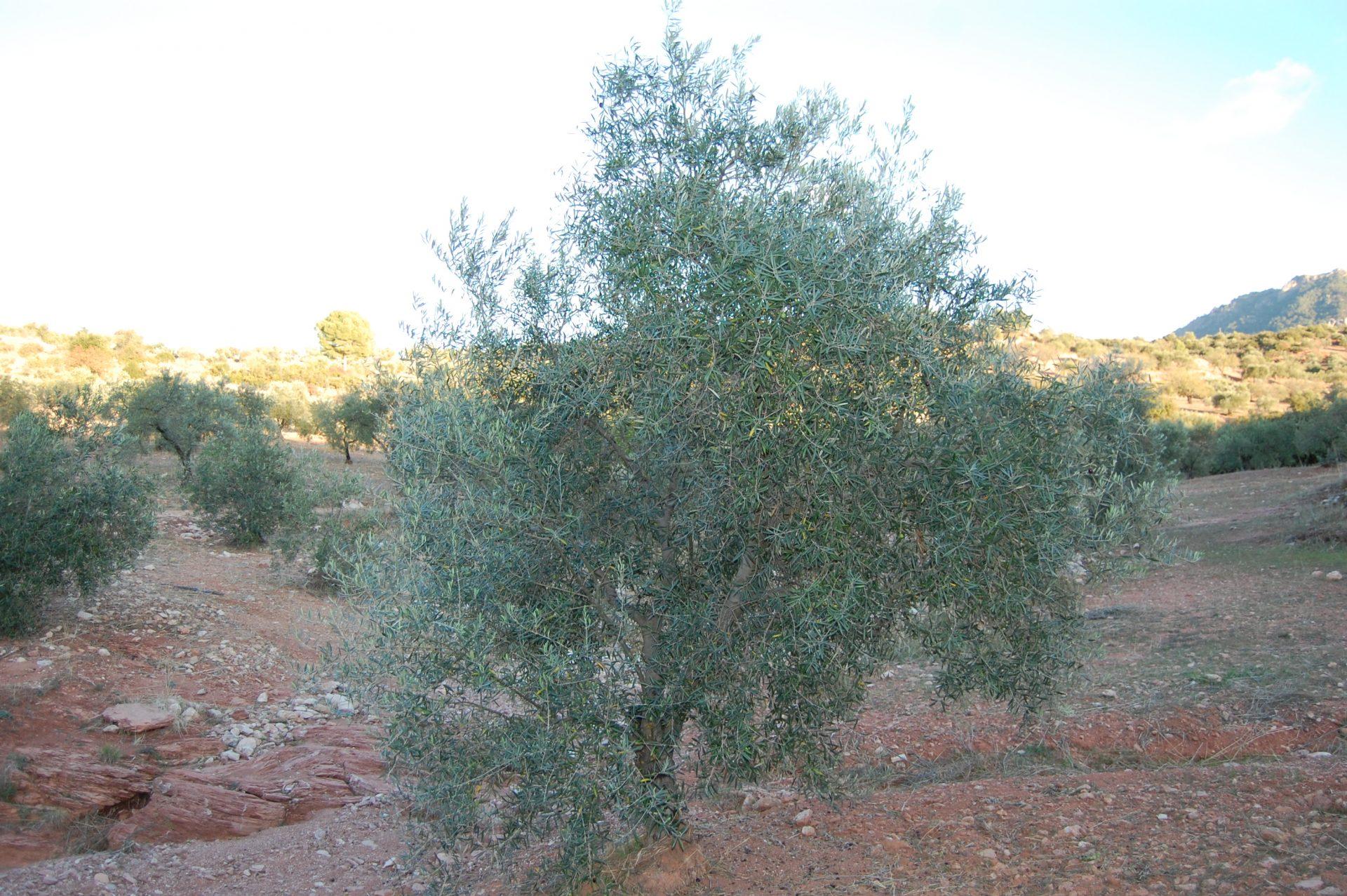Adopteer een olijfboom GL062