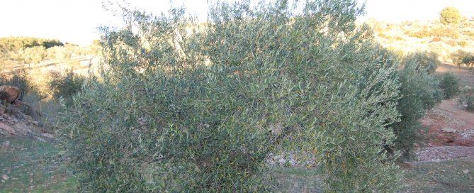 Adopteer een olijfboom en steun een biologische Spaanse Olijfboer.