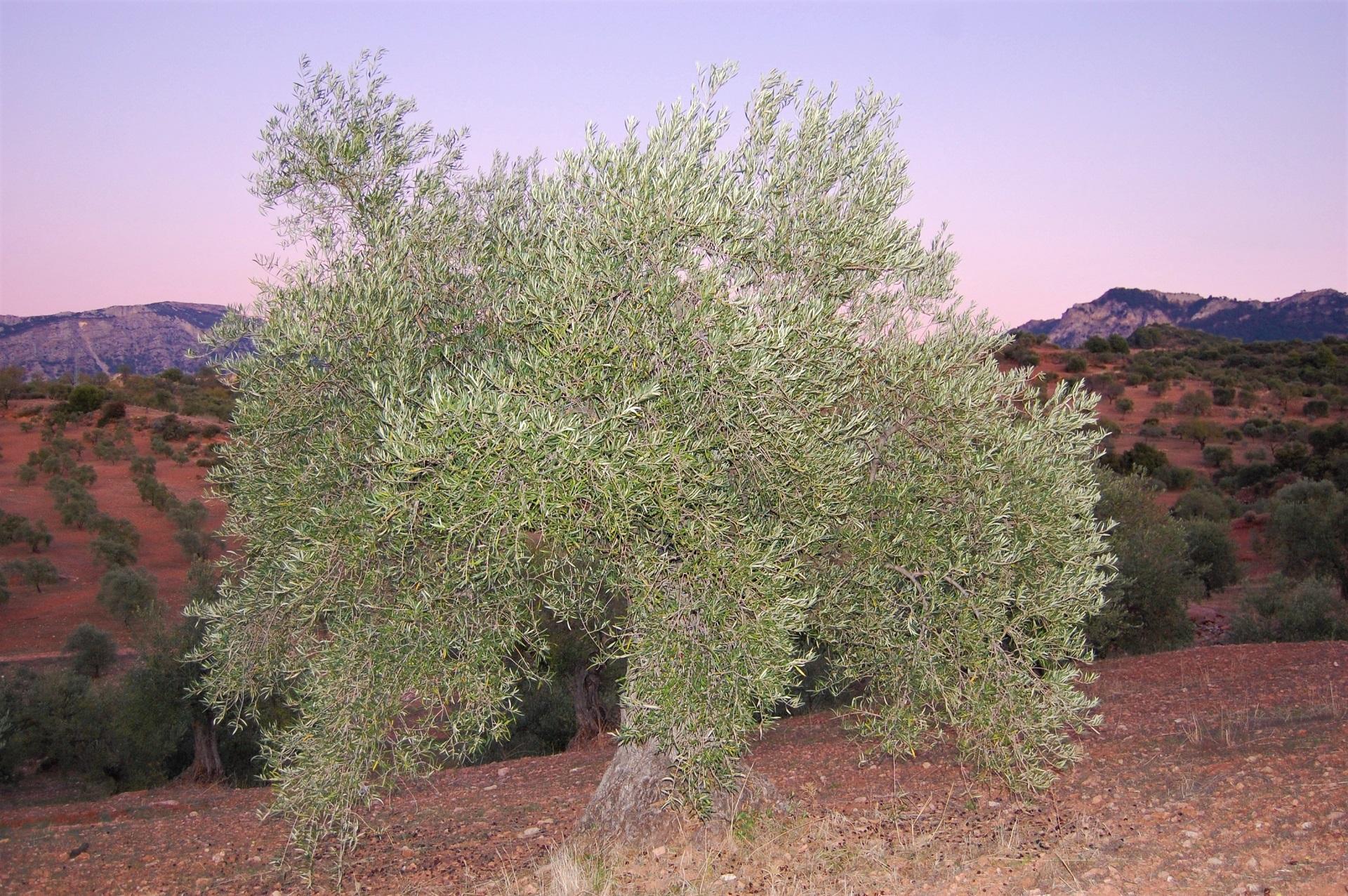 Adopteer een olijfboom GL0065