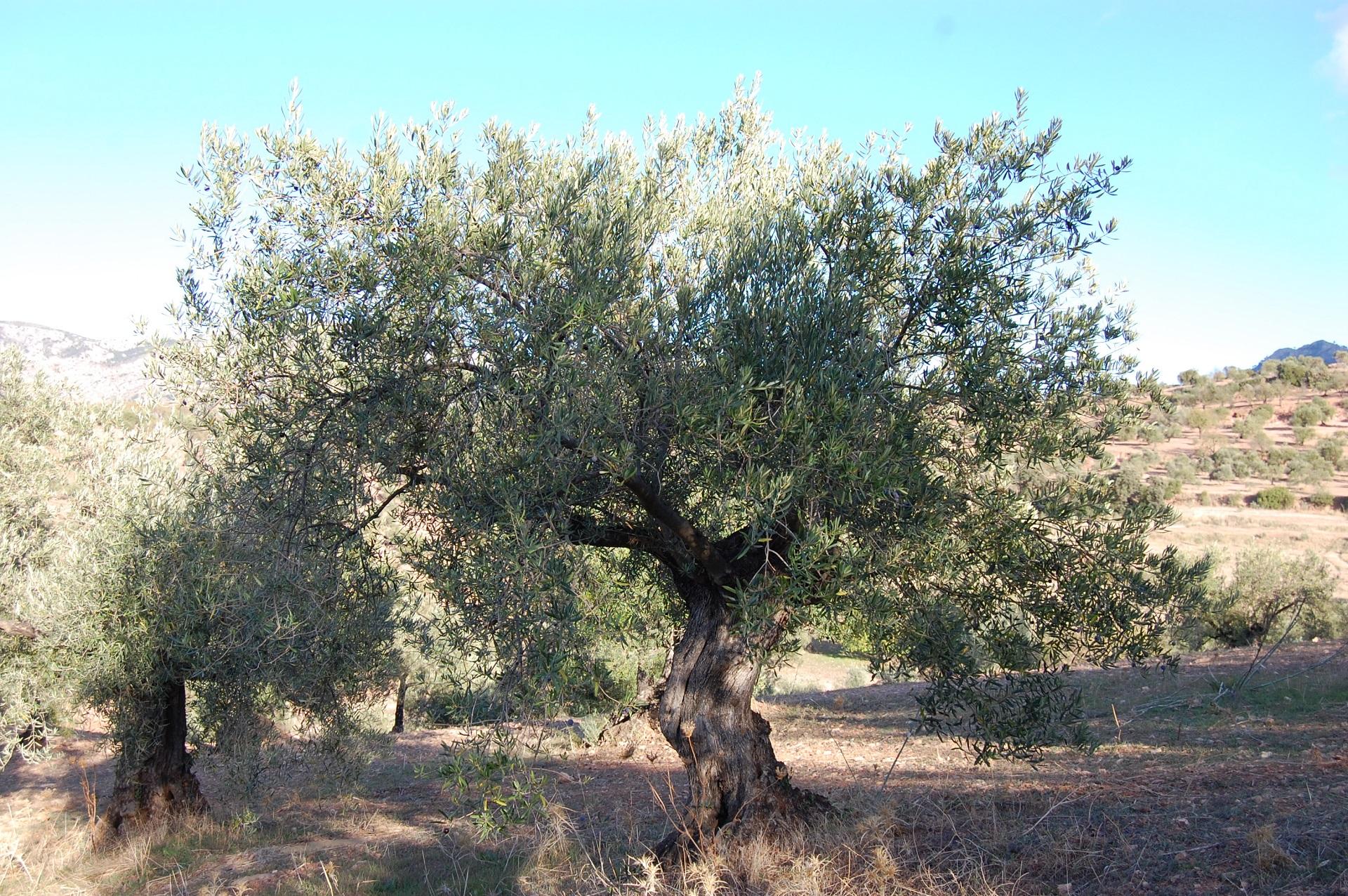 Adopteer olijfboom GL0066