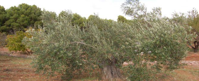 Adopteer een biologische olijfboom