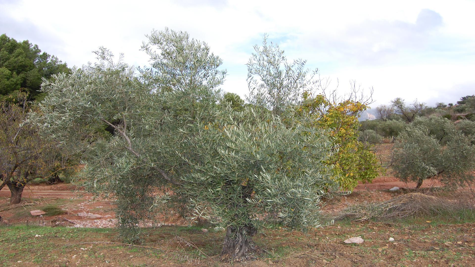 Adopteer een olijfboom van Biologische Spaanse boer