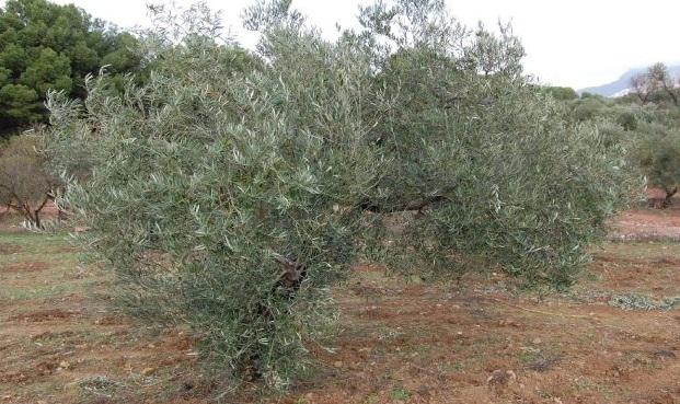 Adopteer een biologische Olijfboom in Spanje