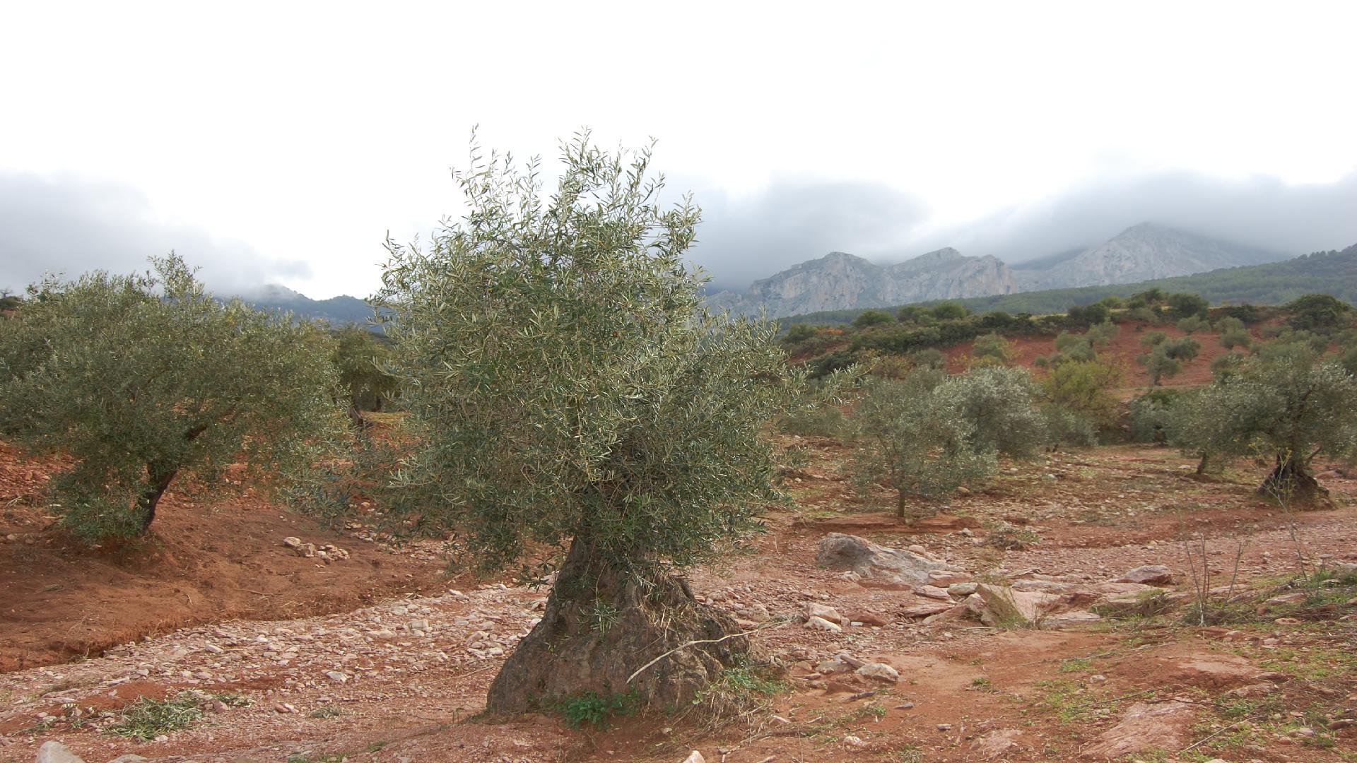 Adopteer een Olijfboom van biologische Spaanse olijfboer
