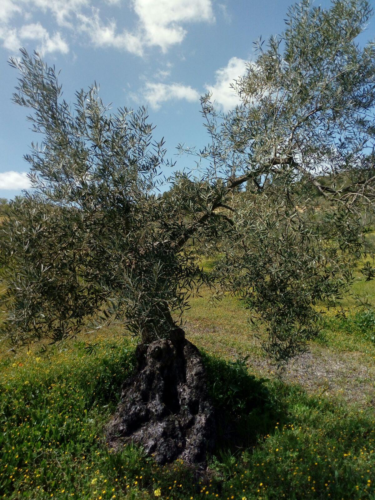 Adopteer een Olijfboom in Spanje