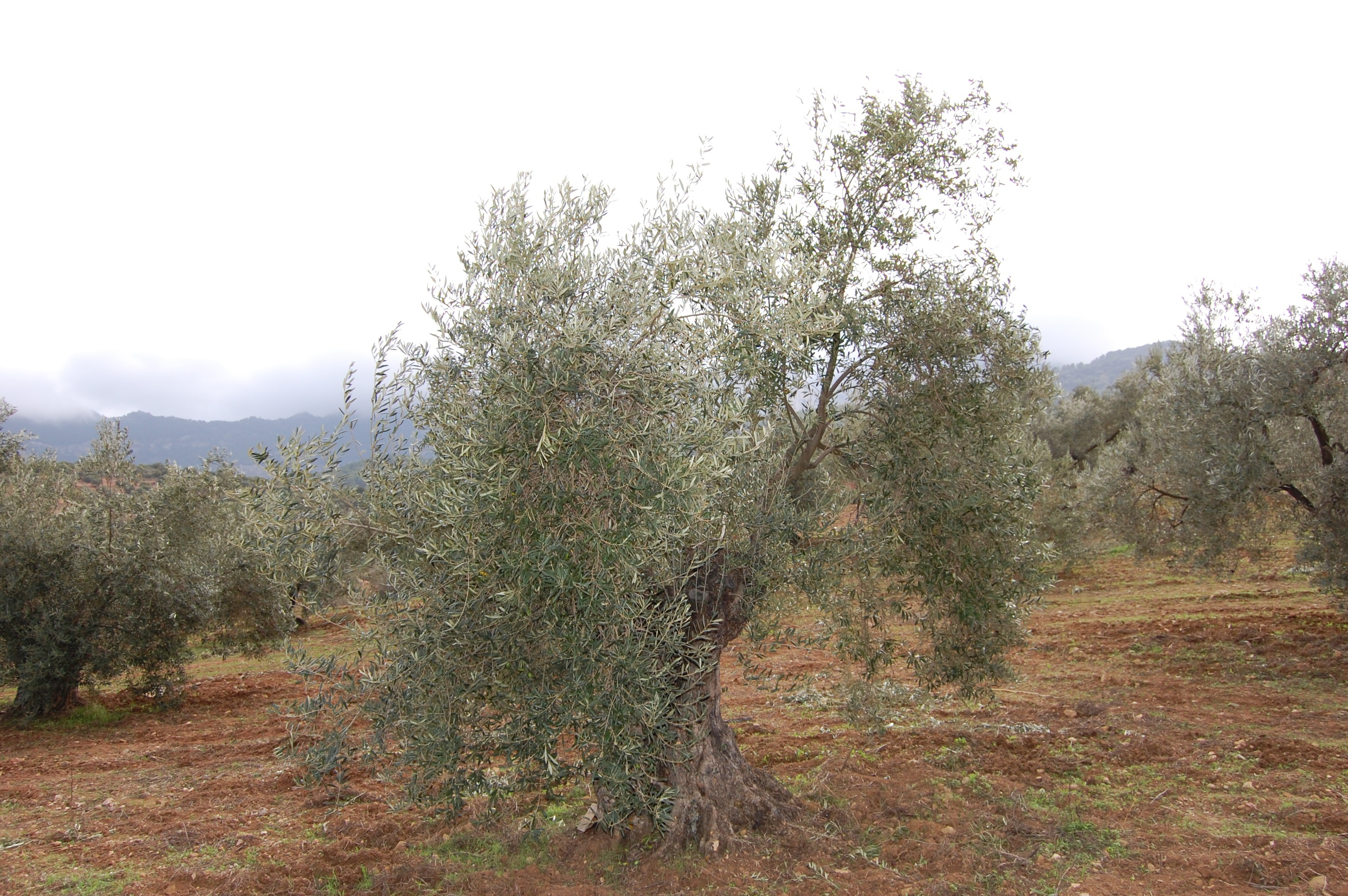 Adopteer een olijfboom en ontvang 4 liter prijswinnende olijfolie