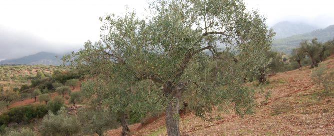 Shabri bicicletta adopteert een olijfboom