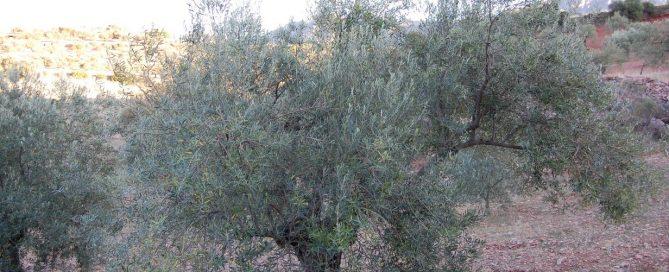 Vleeschmeester adopteert olijfboom