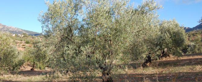 Adopteer een Gil Luna Olijfboom