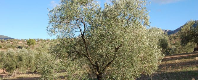 Adopteer een olijfboom bij Gil Luna