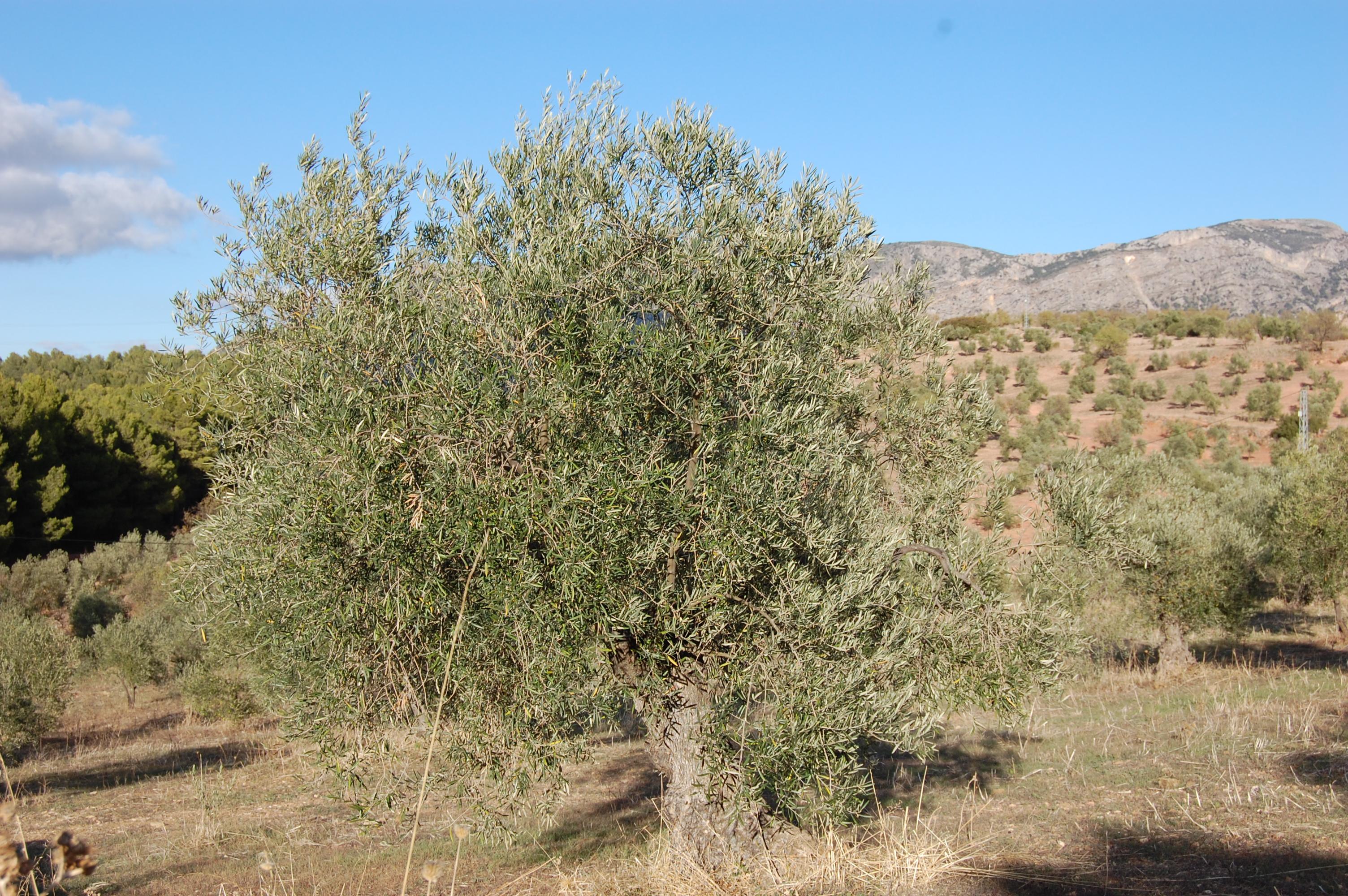 Adopteer een biologische Olijfboom bij Gil Luna