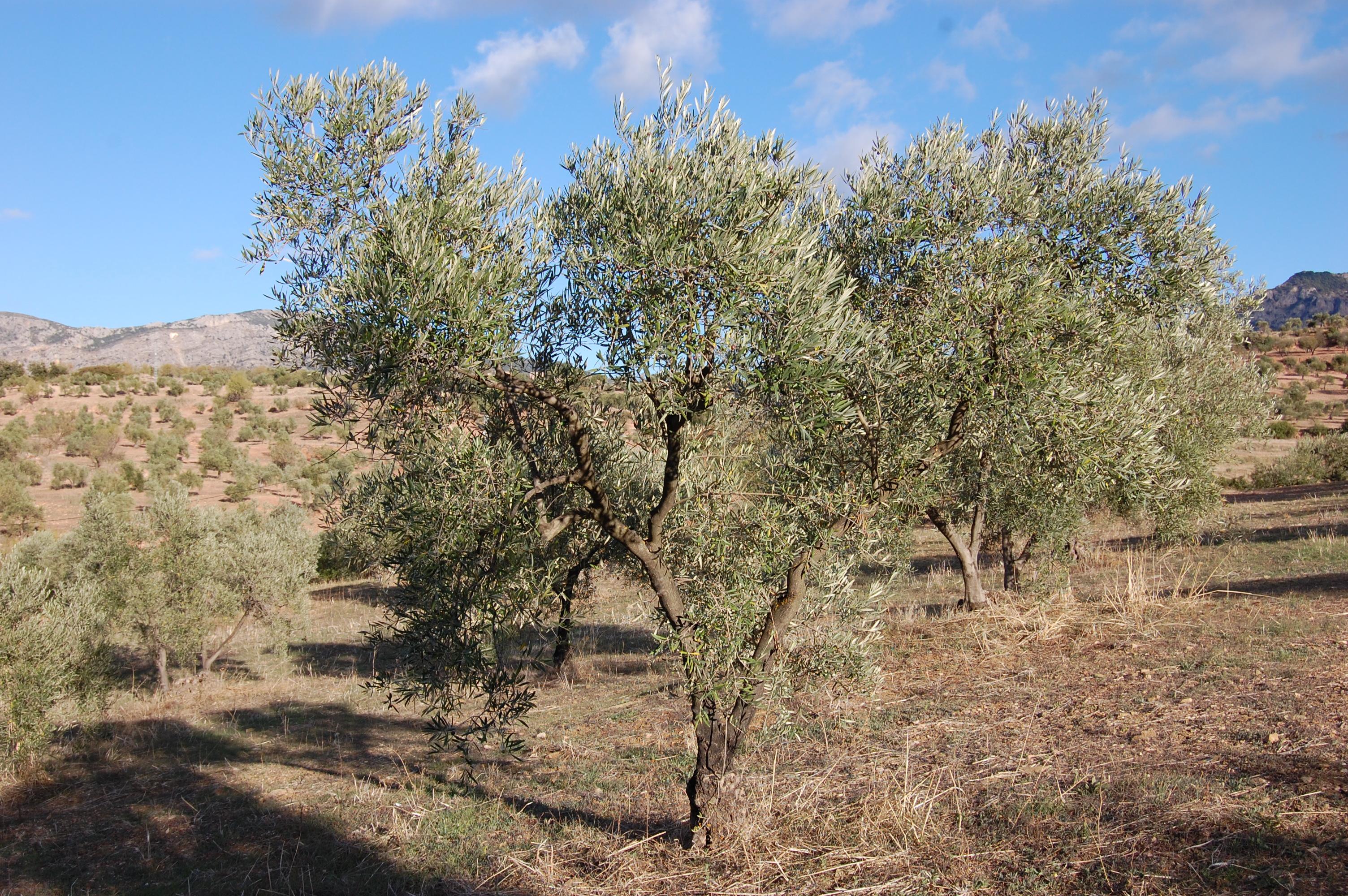 Adopteer een olijfboom adopt a tree