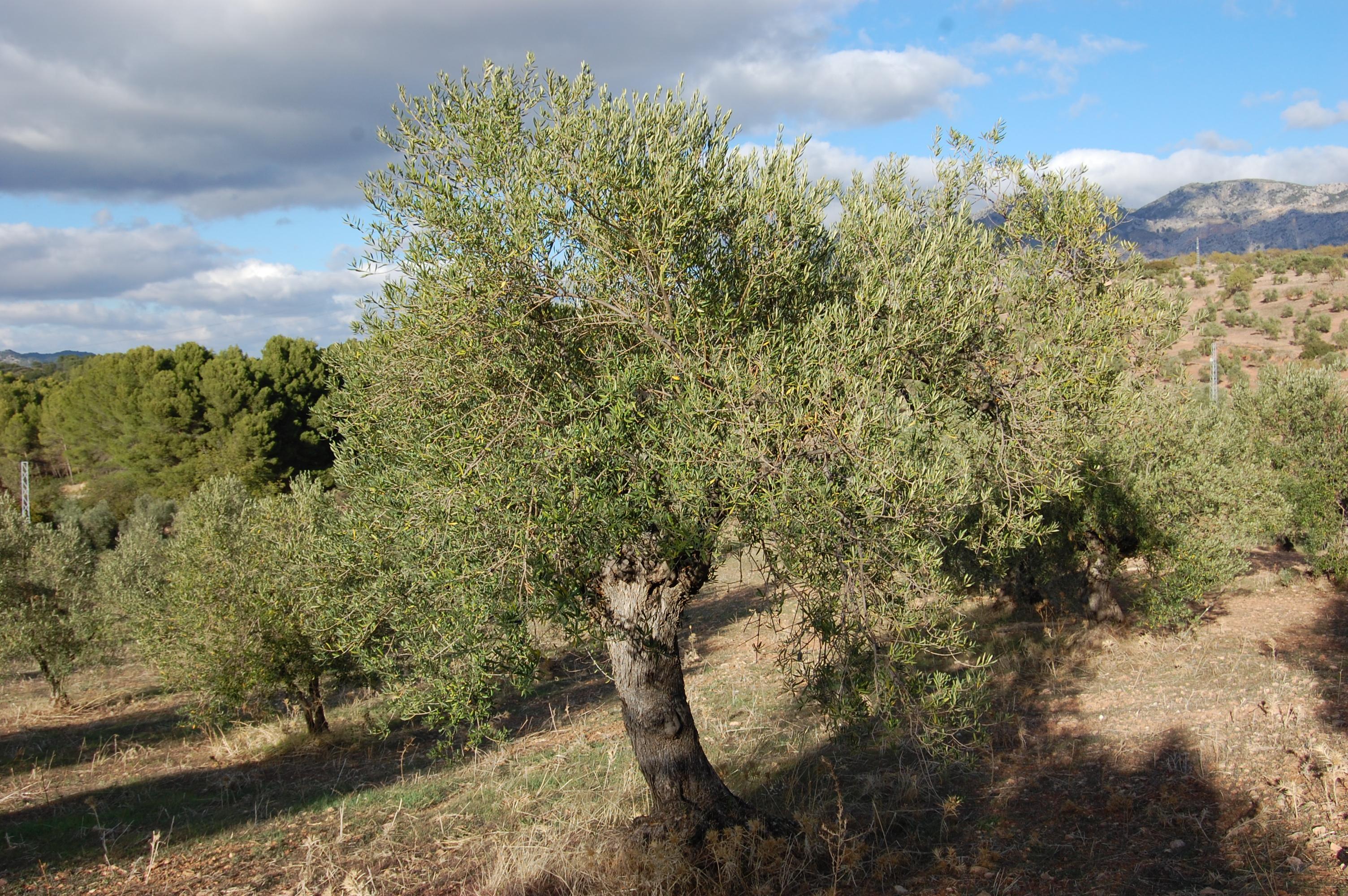 Adopteer een olijfboom