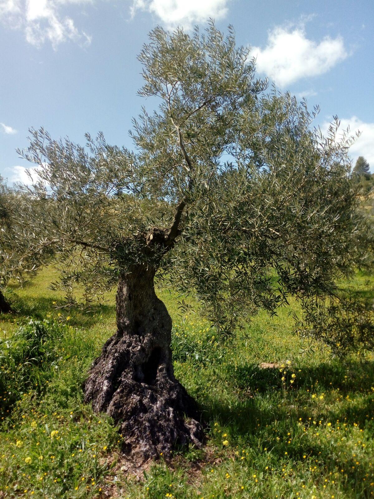 Adopteer een olijfboom en ontvang 4 x 1liter biologische olijfolie