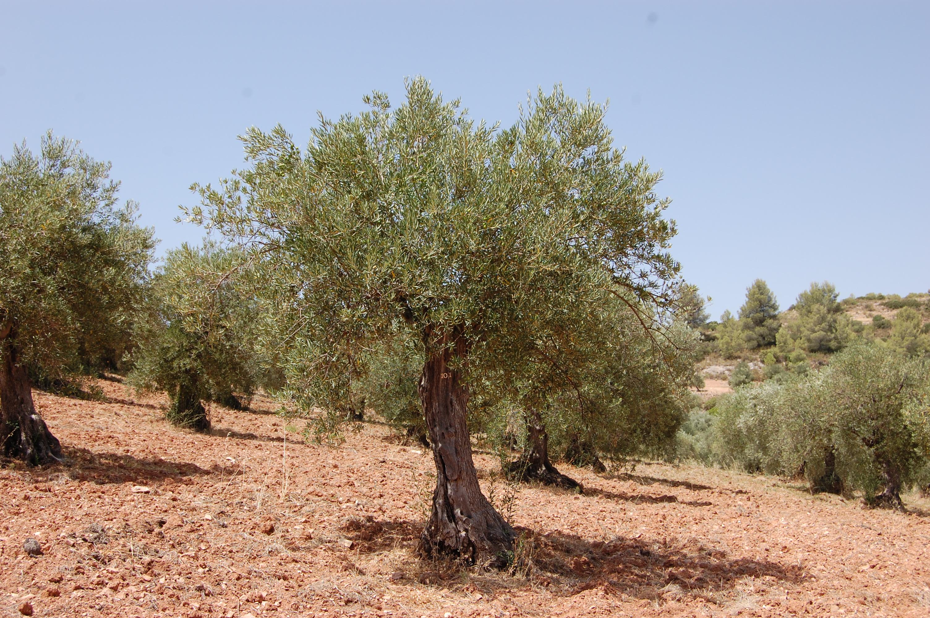 Adopteer een olijfboom GL0101