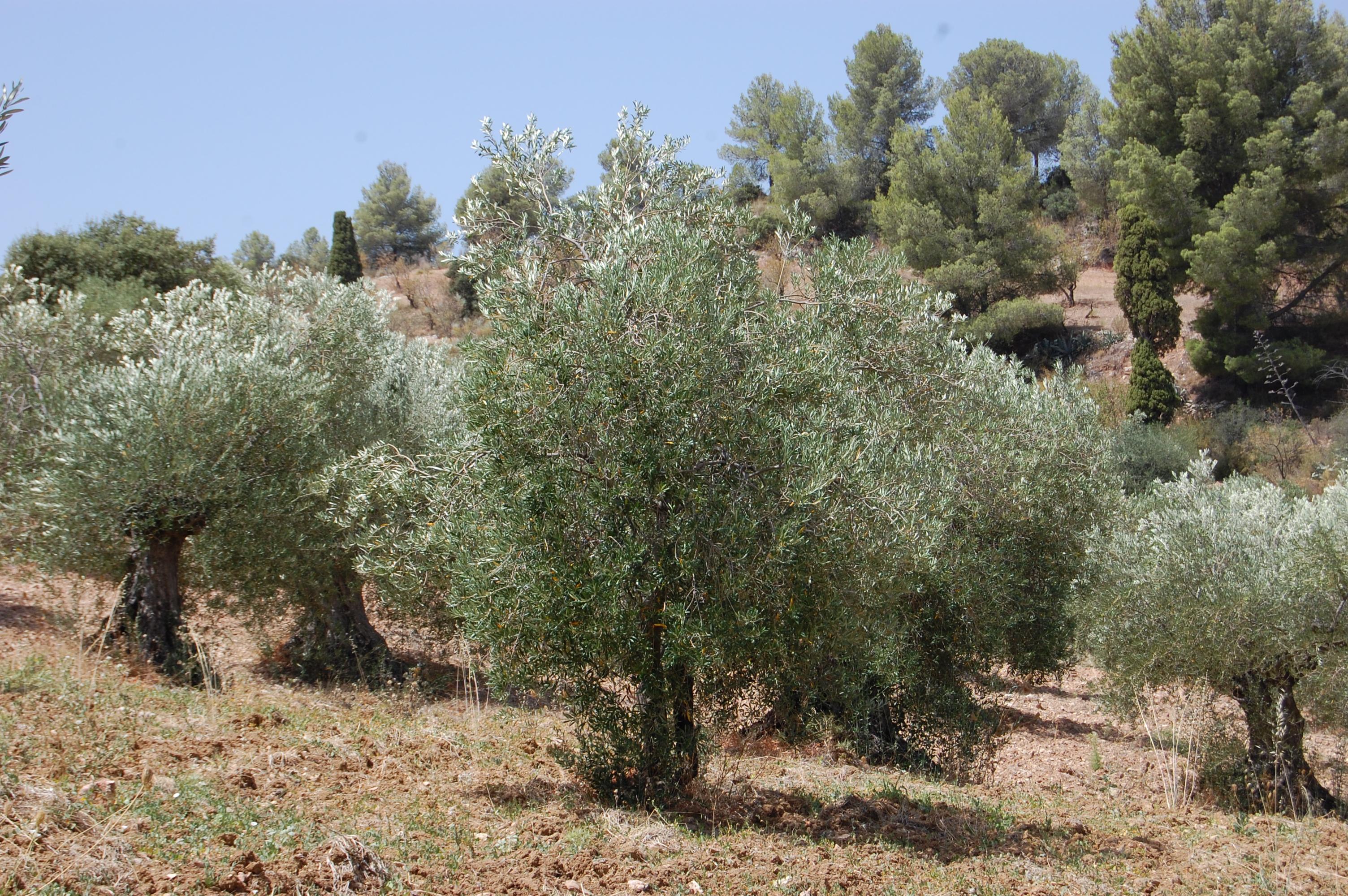 Adopteer olijfboom GL0109 in Zuid Spanje