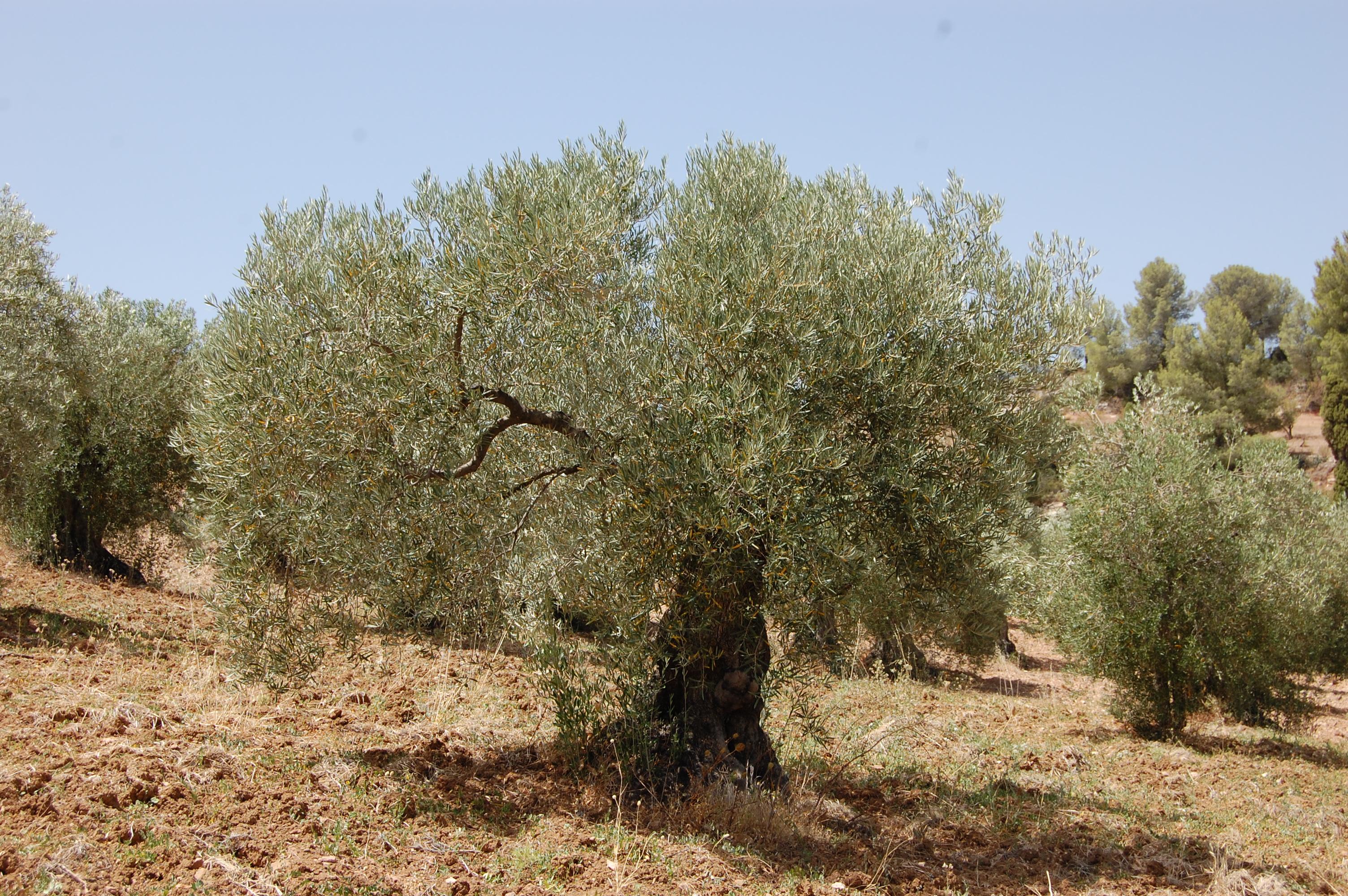 Adopteer een olijfboom GL0110