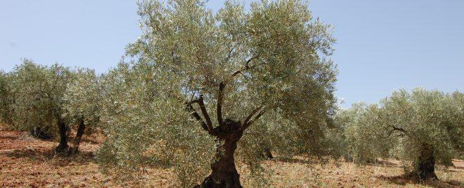 Adopteer een Olijfboom GL0111