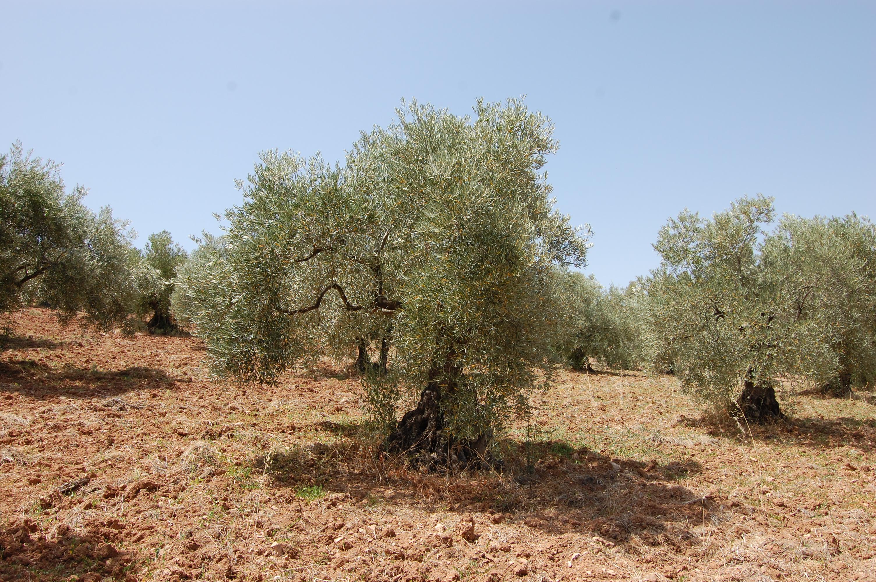 Adopteer een olijfboom in Andalusie