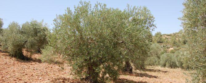 Adopteer een Spaanse olijfboomo