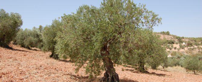 Adopteer een Spaanse Olijfboom