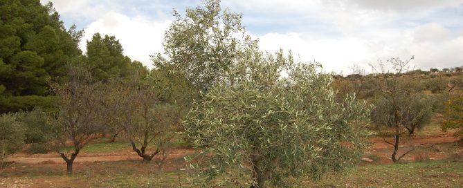 olijfboom adopteren Andalusie