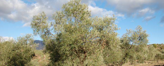 Adopteer olijfboom Spanje